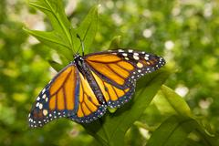 Monarch butterfly over green - stock photo