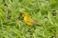 Yellow Warbler in the Grass - stock photo