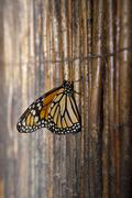 Monarch butterfly over wicker background Stock Photos