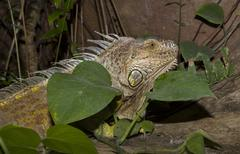 Green iguana between green leaves Stock Photos