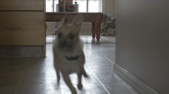 Westie Terrier Chihuahua Cross Breed Dog Pet Running Fast Passed Camera Stock Footage