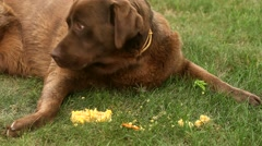 Brown labrador lying on the grass and eating corn Stock Footage