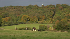 Cow and green fields in English landscape with autumn leaves on the trees. Stock Footage