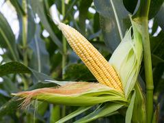 Close up corn on the stalk - stock photo