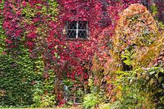 Autumn background, Parthenocissus quinquefolia - stock photo