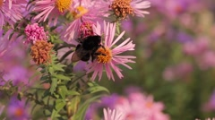 Bumblebee collect pollen on flower field Stock Footage