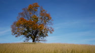 Stock Video Footage of Maple tree showing the colors of autumn