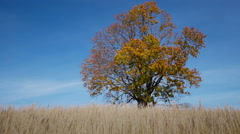 Maple tree showing the colors of autumn - stock footage