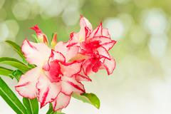 Impala Lily or desert rose or Mock Azalea isolate on white - stock photo