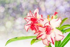 Impala Lily or desert rose or Mock Azalea isolate on white Stock Photos