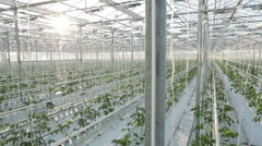 Big industrial greenhouse, rows of vegetables Stock Footage