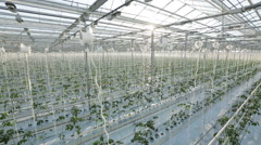 Industrial greenhouses, many rows of green plants - stock footage
