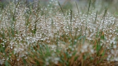4k footage Water droplets on the grass flowers in the breeze and panning camera. Stock Footage