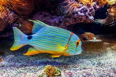 Colorful exotic fish in aquarium. - stock photo
