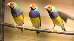 Gouldians purple breasted finches Stock Footage