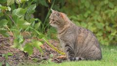 Cat in the garden hunting mice - no color grading - stock footage