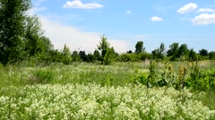Many swift birds fly in summer over a green meadow with flowers Stock Footage