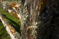Thick Colorful Lichens on Old Wooden Fence, with Post in Foreground - stock photo