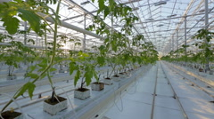 A large greenhouse, a lot of long rows of plants Stock Footage