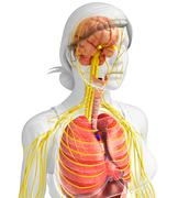 Female body of Nervous and digestive system artwork Stock Illustration