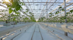 Long rows of green plants in a huge glasshouse Stock Footage