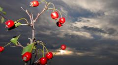 Rose hips in front of the dark sky – artistic picture Stock Photos