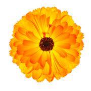One Blossoming Orange Pot Marigold Flower Isolated on White Stock Photos