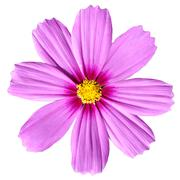 Pink Cosmea Rose. Beautiful Cosmos Flower isolated - stock photo