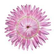Pink Strawflower, Helichrysum bracteatum Isolated on White - stock photo