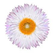 Single Pink White Strawflower Isolated on White - stock photo