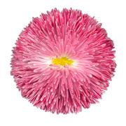 Pink Daisy Flower with Yellow Center Isolated on White - stock photo