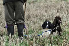 Stock Photo of A pheasant shoot. Two trained gundogs a spaniel and retriever alert but still