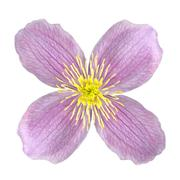 Clematis Pink Flower Isolated on White - stock photo