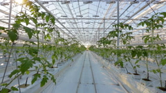 Industrial greenhouses, many rows of green plants Stock Footage