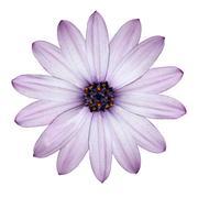 Light Purple Daisy -Osteospermum Flower Head Isolated on white - stock photo