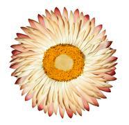 Single White Pink Everlasting Flower Isolated on White Background - stock photo