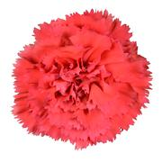 Red Carnation Clove Pink Flower Isolated - stock photo