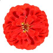 Blossoming Red Zinnia Flower  Elegans Isolated on White Stock Photos