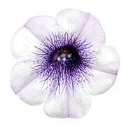 White Morning Glory Flower Isolated on White Stock Photos