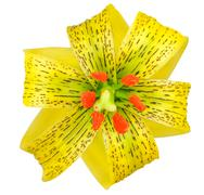 Stock Photo of Yellow Asiatic lily with Black Spots Isolated on White