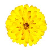 Blossoming Yellow Gerbera Flower Isolated on White Stock Photos