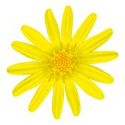 Yellow daisy wildflower Isolated on White - stock photo