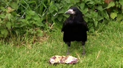 Rook eating cake Stock Footage