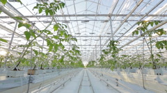 Rows of plants in a large greenhouse Stock Footage