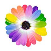Rainbow Multi Colored Petals of Daisy Flower - stock photo