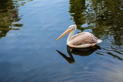 Pelican floating in the lake Stock Photos