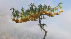 Old yellow datura flowers in tree,Bromo,Java,Indonesia - stock footage