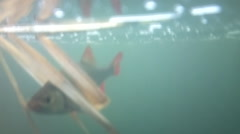 Algal pollution and oxygen deficiency: Rudd floats near top of water Stock Footage
