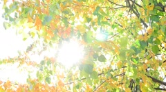 Sun beams come through yellow and green foliage of lime tree - stock footage