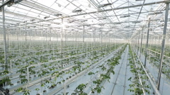 A large greenhouse, a lot of long rows of plants - stock footage